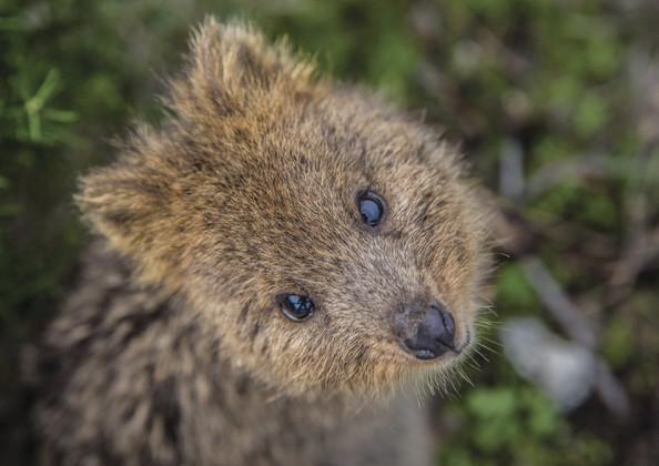 Quokka Rottnest Island Perth Westaustralien WA