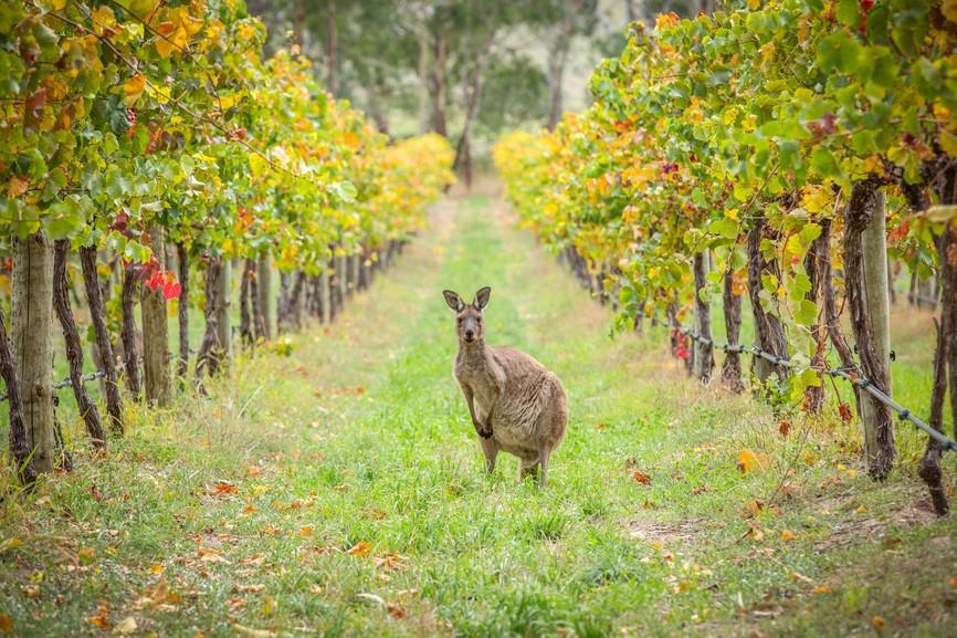 Känguru zwischen Weinreben Barossa Valley Südaustralien