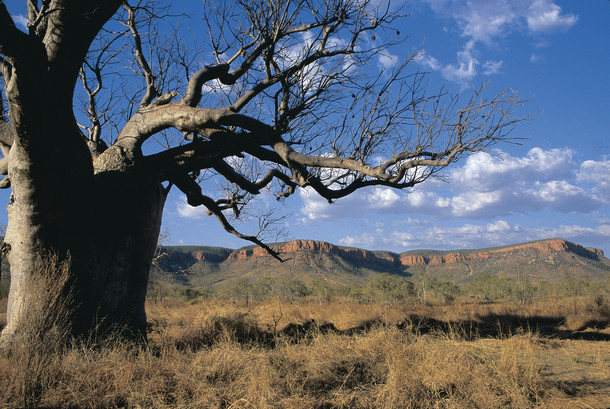 Boab Tree Kimberleys Westaustralien WA