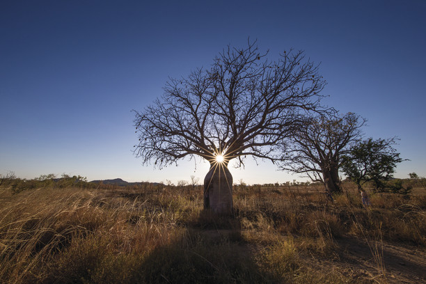 Boab Tree Sunrise Kimberleys Westaustralien WA