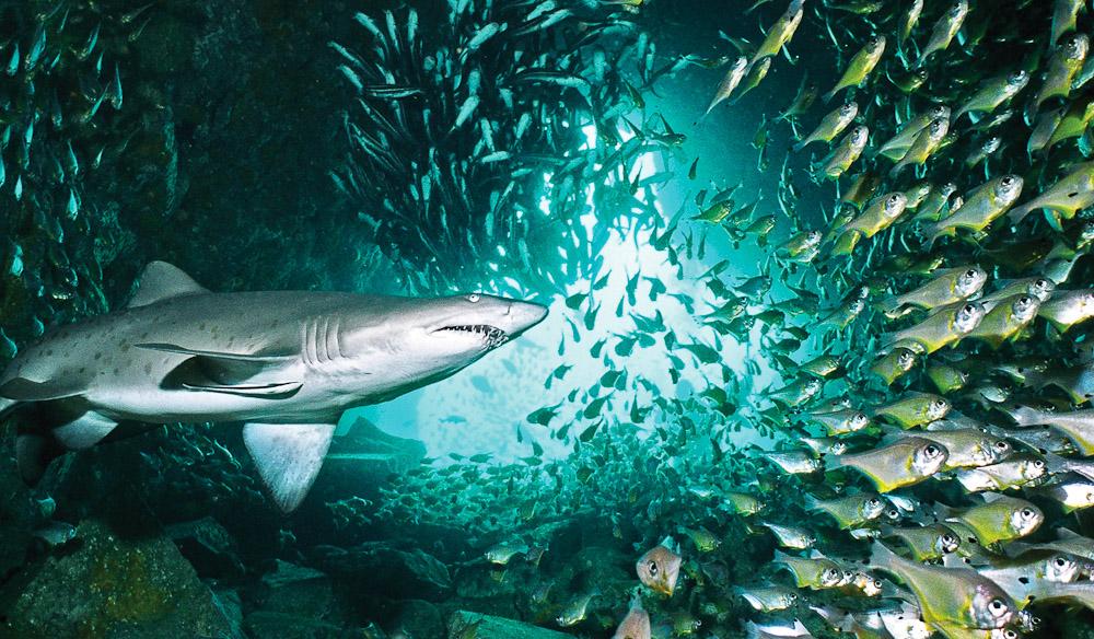 Ammenhai in der Fish Rock Cave South West Rocks New South Wales NSW Australien AU