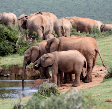 Elefanten Addo Nationalpark Südafrika ZA Quadrat