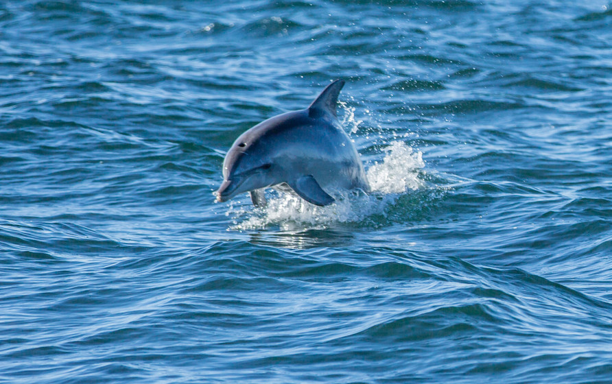 Delfin Australien