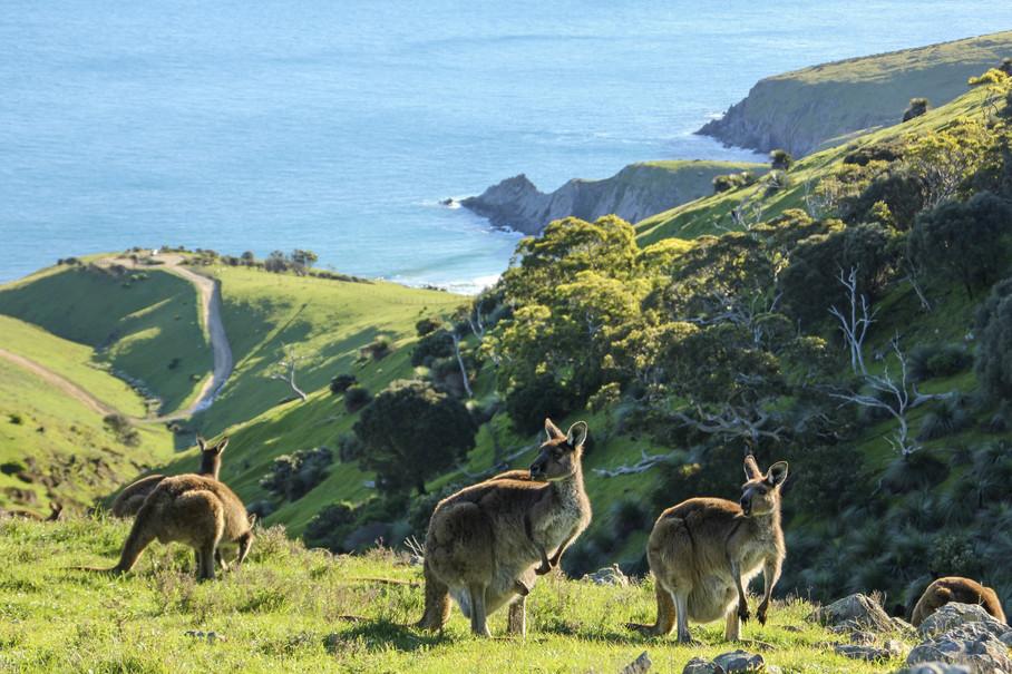 Kängurus auf der Fleurieu Peninsula Südaustralien