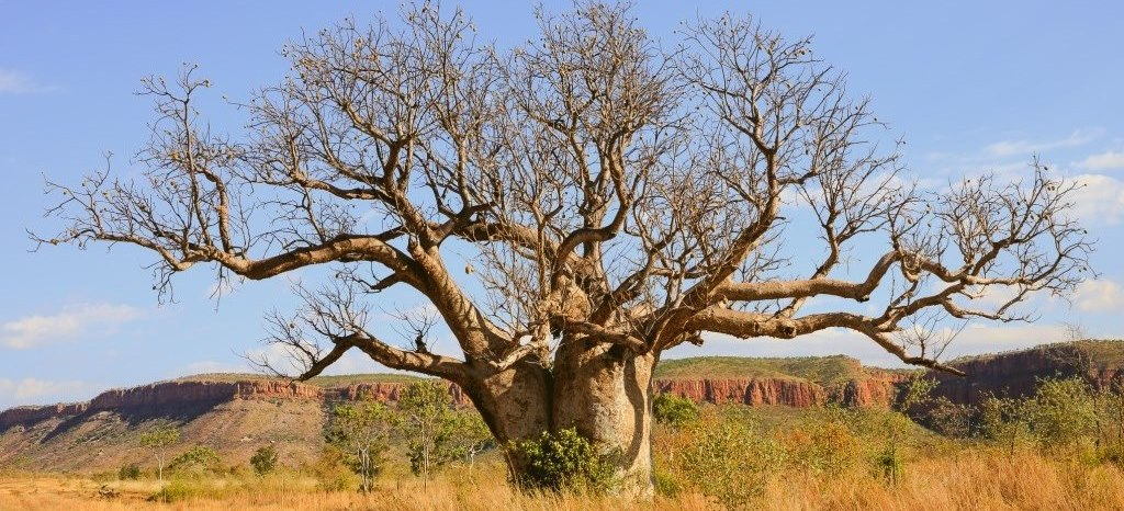 Boab Tree Kimberleys Westaustralien El Questro