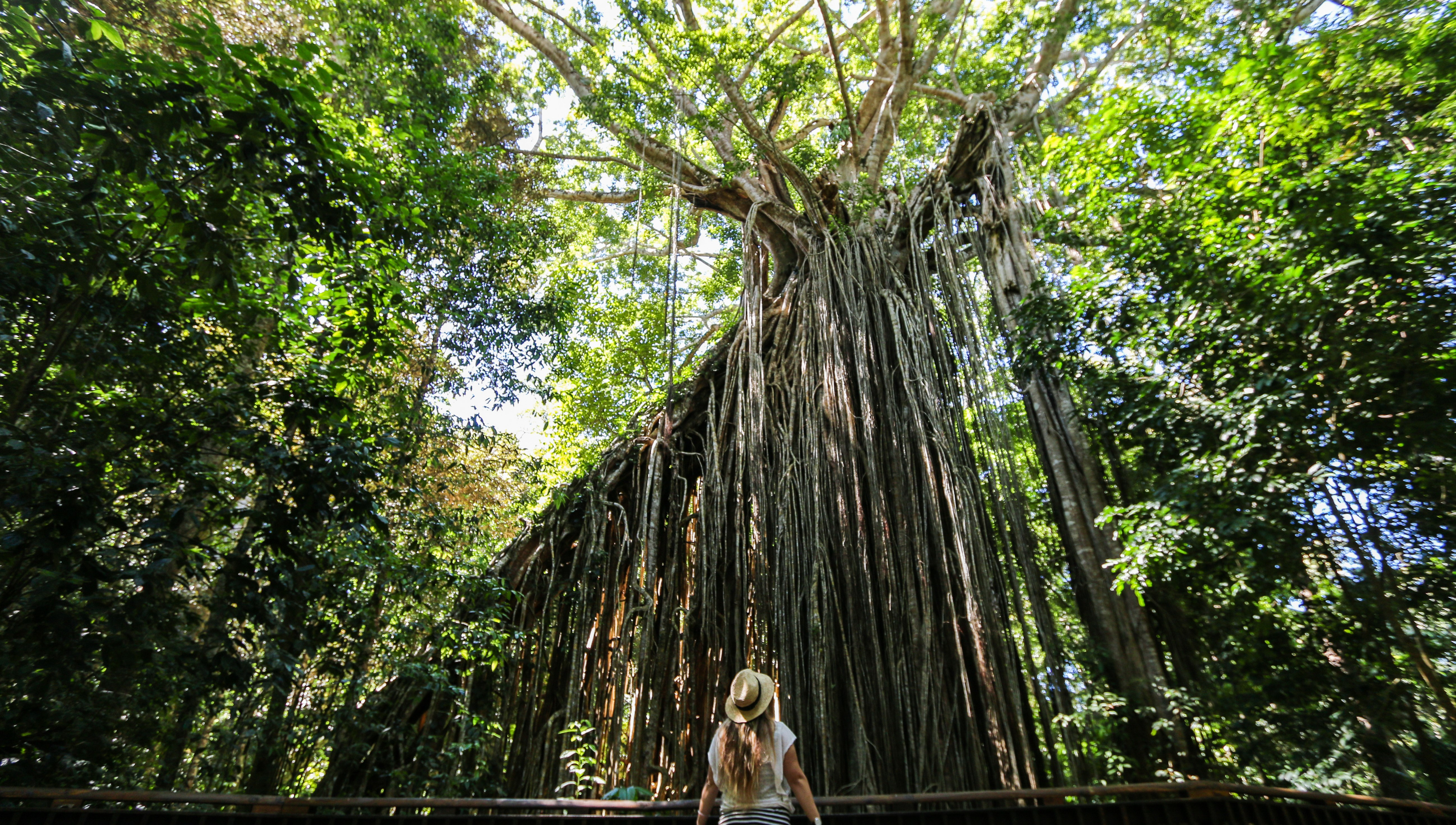Curtain Fig Tree Atherton Tablelands Cairns Queensland