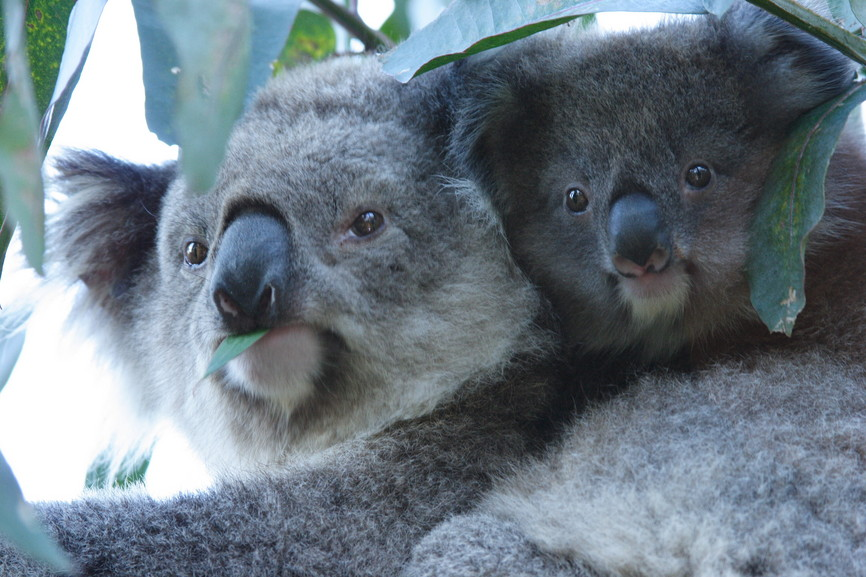 Koalamutter mit Kind Australien