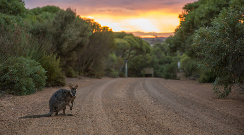 Wallaby im Flinders Chase Nationalpark Kangaroo Island Südaustralien