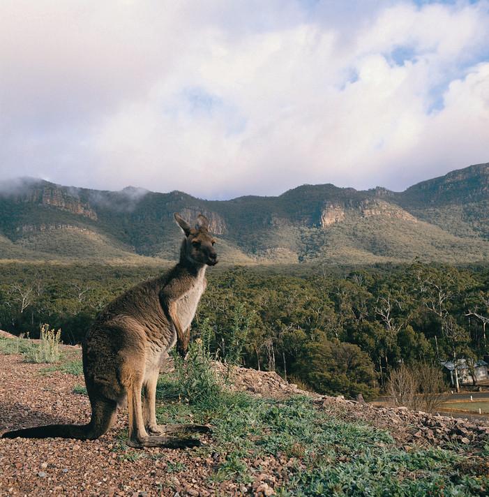 Kangaroo Grampians Nationalpark Victoria VIC Australien