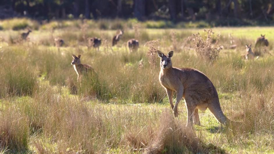 Kängurus im Grampians Nationalpark Victoria Australien VIC