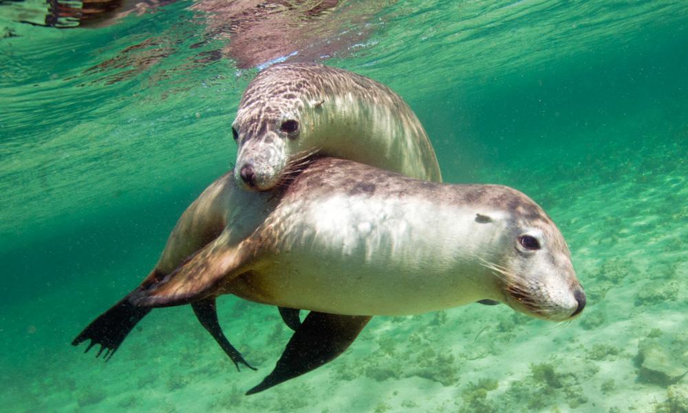 Mit Seelöwen Schwimmen Eyre Peninsula Gawler Ranges Safari Südaustralien