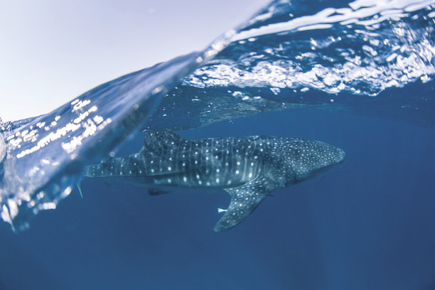 Walhai Ningaloo Reef Westaustralien Australien AU