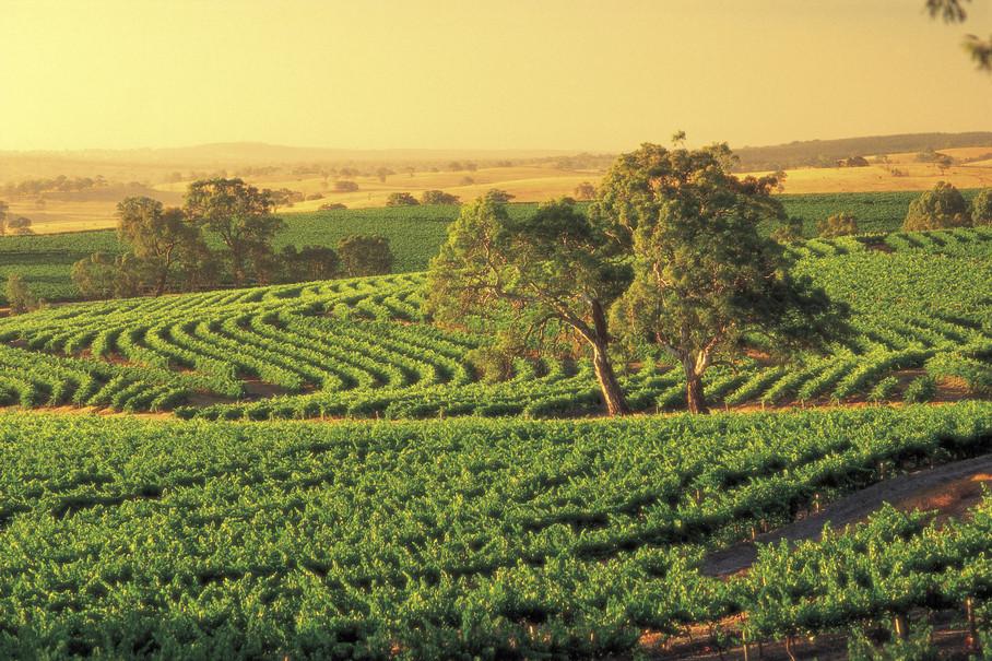 Weinreben auf der Fleurieu Peninsula Südaustralien